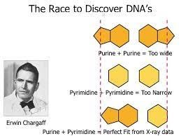 ساختار مولکولی دنا
