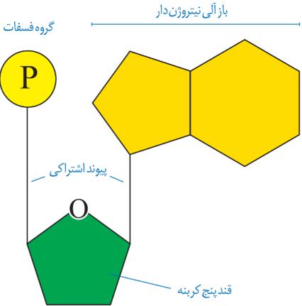 ساختار نوکلئیک اسیدها زیست دوازدهم