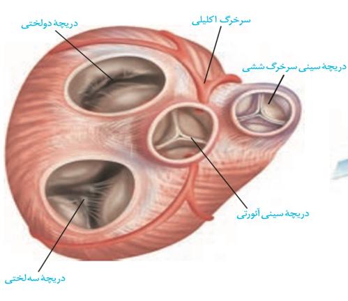 دریچه های قلب -زیست دهم