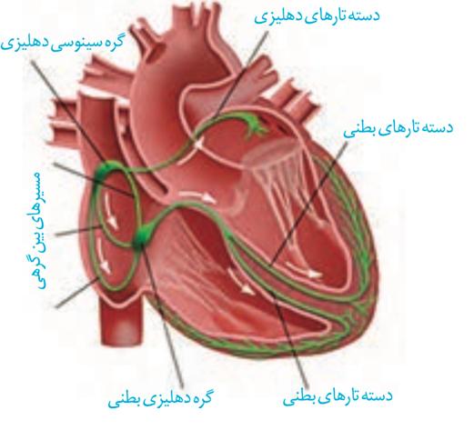 شبکه هادی قلب