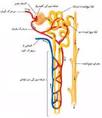 ساختار نفرون در کلیه زیست دهم