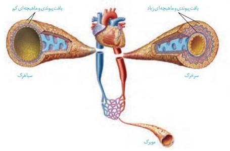 خلاصه فصل رگهای خونی و مویرگها زیستشناسی دهم