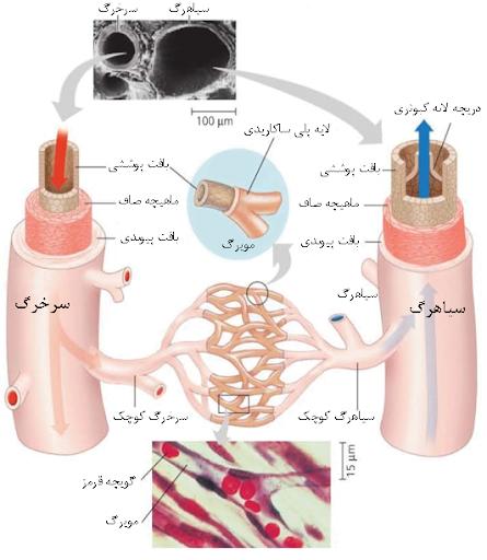 رگهای خونی و مویرگها زیستشناسی دهم