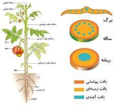 بافت شناسی در گیاهان زیست شناسی دهم