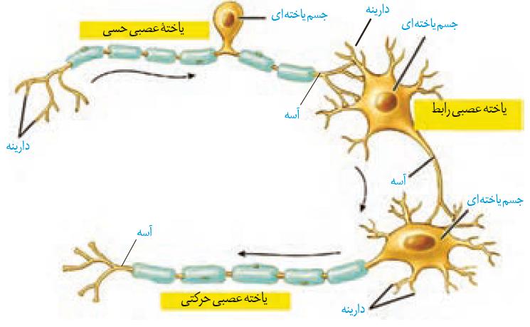 تدریس فصل تنظیم عصبی زیست یازدهم