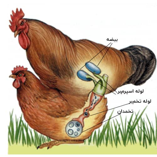خلاصهای از تولید مثل در جانوران زیستشناسی یازدهم