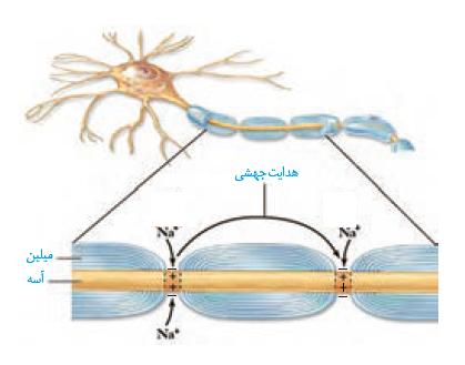 نکات کنکوری و مهم یاخته های بافت عصبی زیست شناسی یازدهم