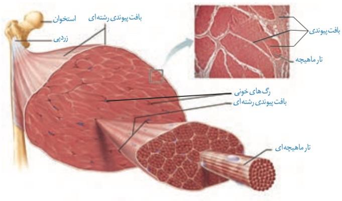ساختار ماهیچه اسکلتی