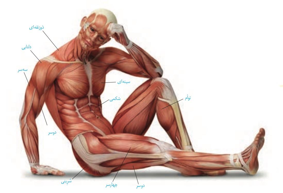 ماهیچه های اسکلتی بدن انسان (فصل دستگاه حرکتی)